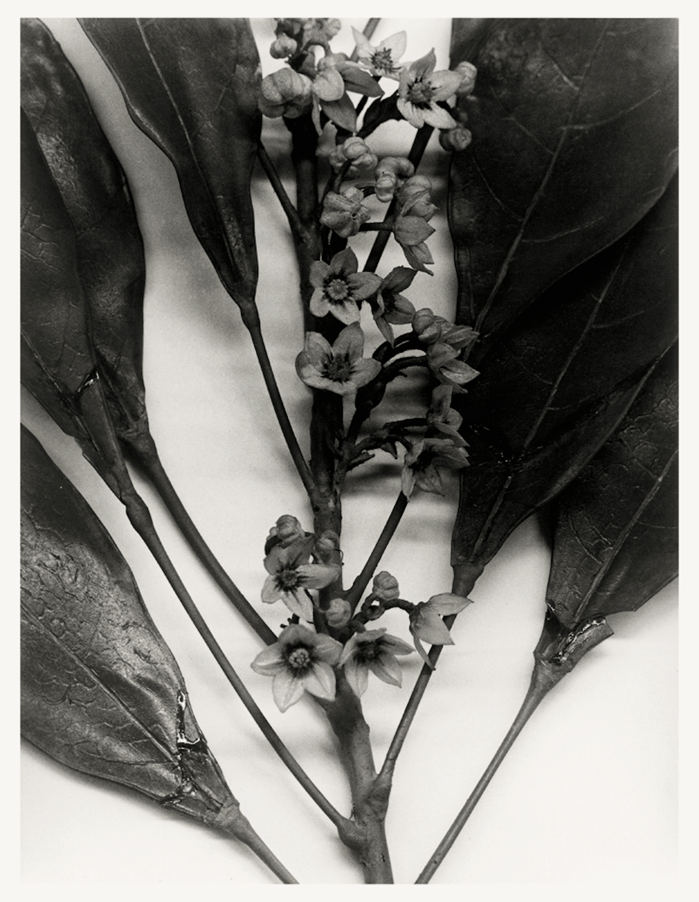 Christopher Williams, Angola, 1989, Blaschka Model 439, 1894, Genus no. 5091, Family, Sterculiaceae Cola acuminate (Beauv.) Schott and Endl., Cola Nut, Goora Nut, 1989, from the series Angola to Vietnam*, 1989. Courtesy: the artist and Galerie Gisela Capitain, Cologne
